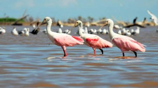 Espátulas rosadas en la costa de Mar Chiquita