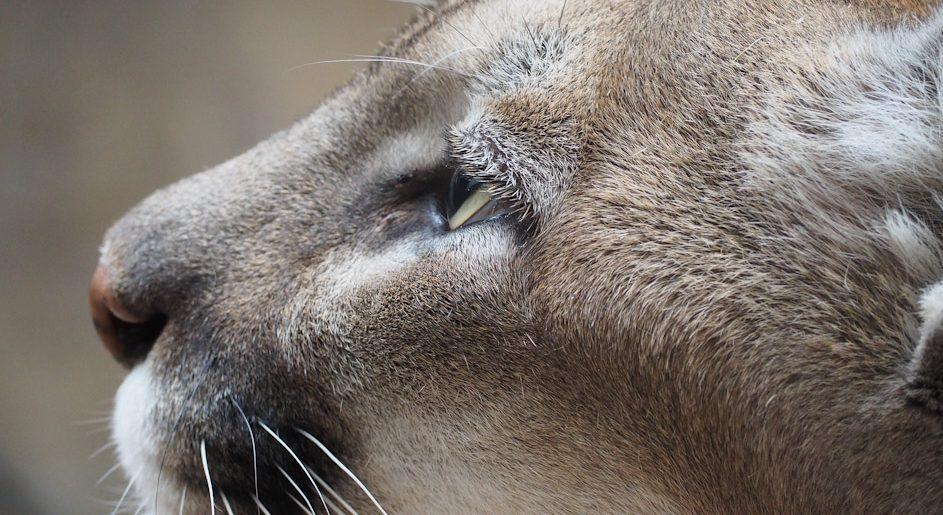 Recomendaciones ante el avistaje de pumas en zonas urbanas