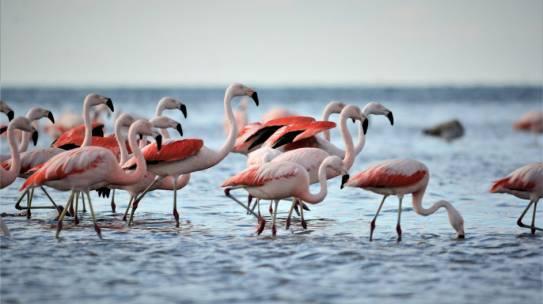 Flamencos, centinelas del mar de Ansenuza