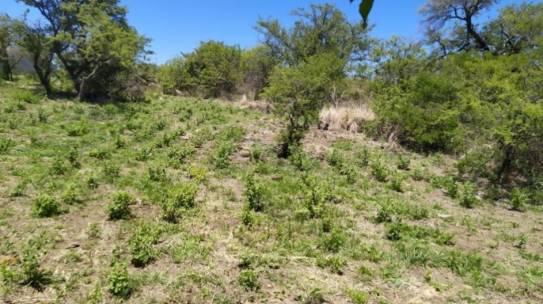 Se cultiva peperina a gran escala en un campo cordobés