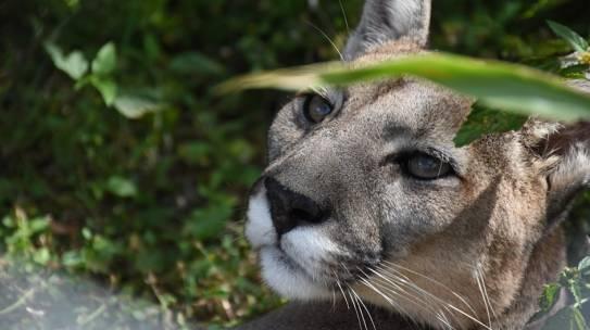 Día Internacional del Puma: la importancia de proteger una especie vulnerable
